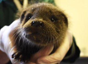 Abandoned Otter Cub, Beatha